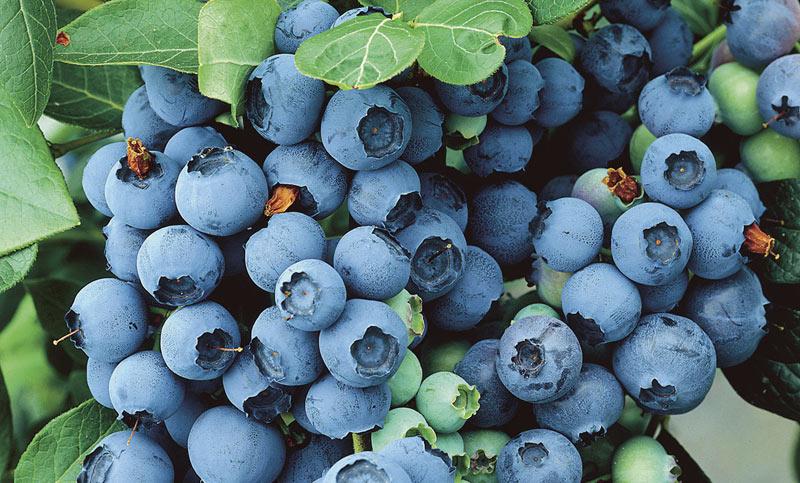 الخضروات والفواكه الزرقاء مفيدة بشكل خاص للقلب