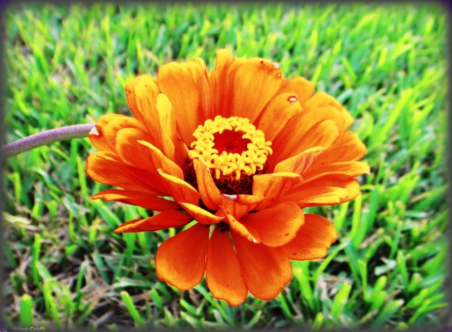 Orange Zinnia #2 // Ashlee Craft