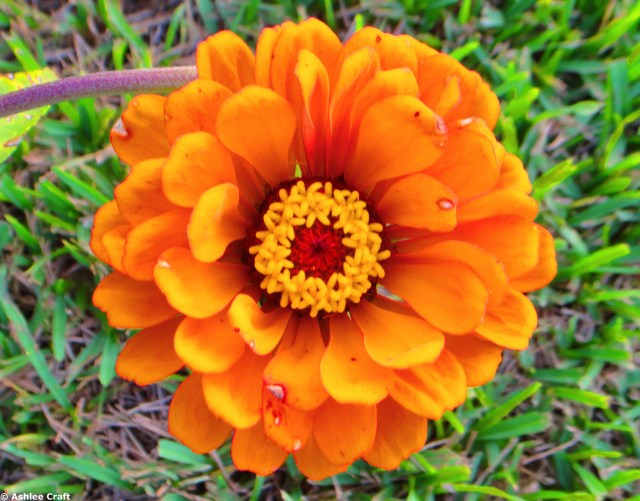 Orange Zinnia #1 // Ashlee Craft