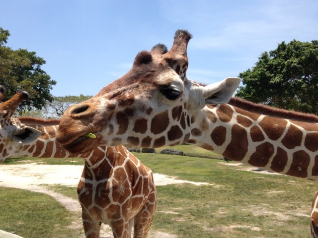 Zoo Miami - Giraffe Feeding - My Awesome Florida Road Trip