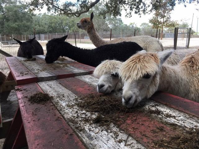 Alpacas at Alpaca Magic USA in Homosassa Springs, FL