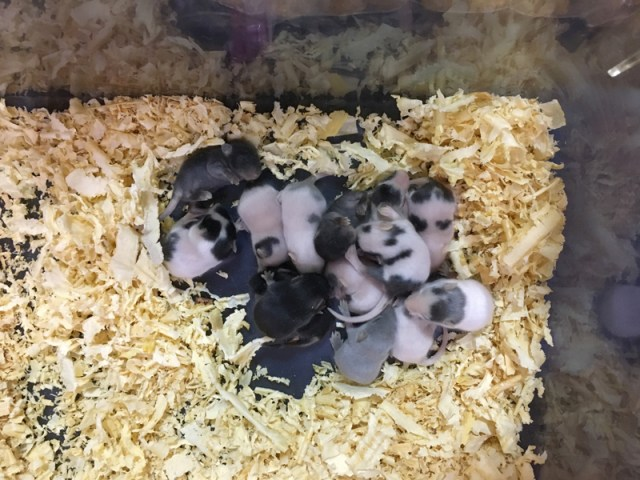 Baby Mice at Tampa Repticon 2018