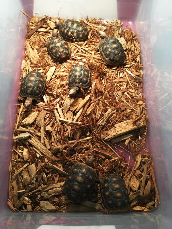 Tortoises at Tampa Repticon 2018