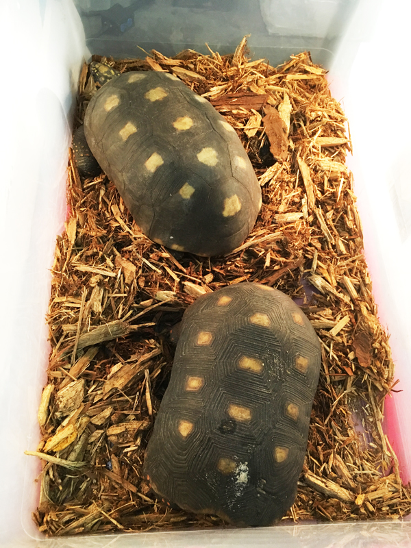 Tortoises at Tampa Repticon 2018