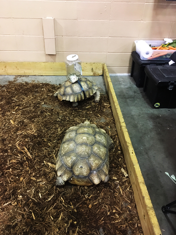Sulcata Tortoise with Donation Jar at Friends of Largo Nature Parks - Tampa Repticon