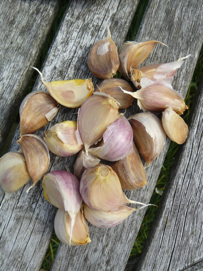 Garlic 1 -howtogrowgarlic-smblog
