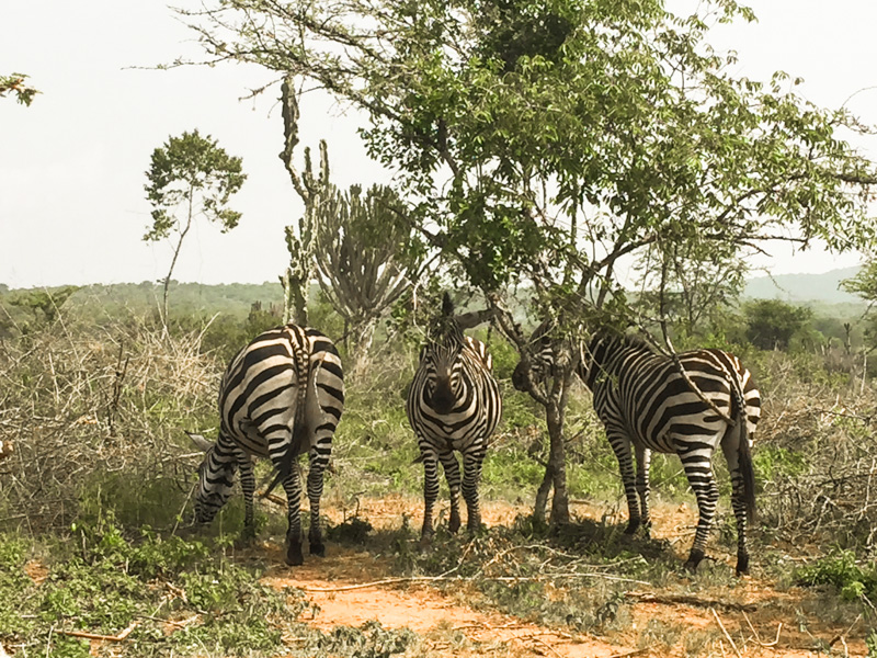 Mountain biking with zebras in Lake Mburo, Uganda