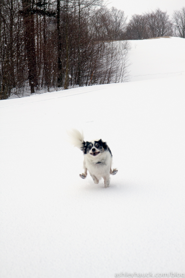 Papillon running in the snow
