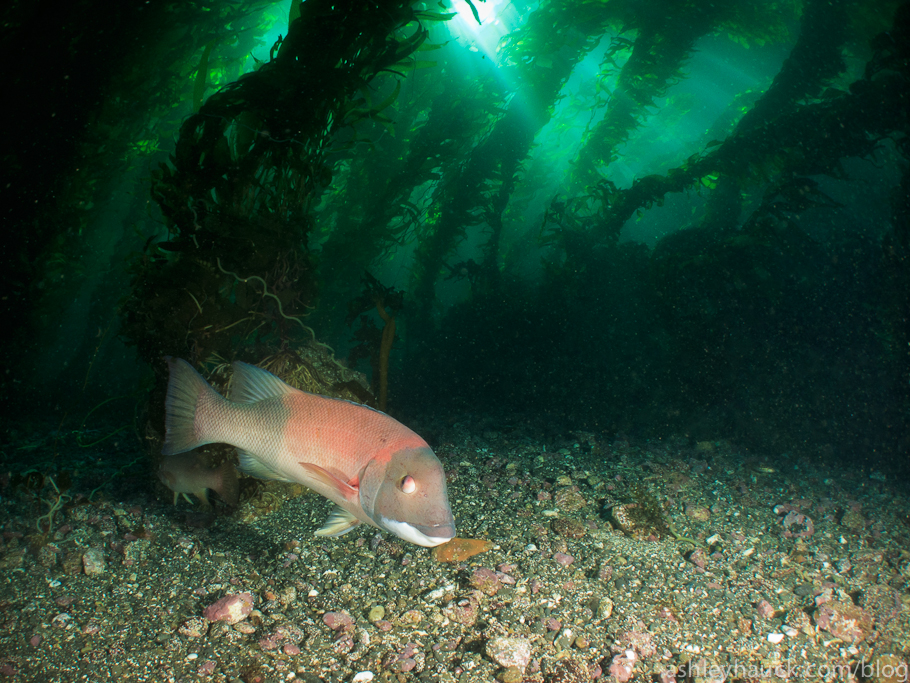 California kelp forest with sheephead