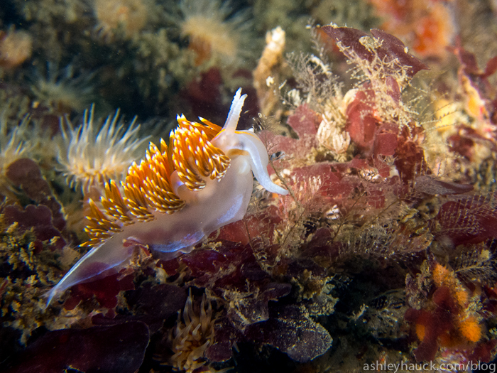 San Diego Nudibranchs: Hermissenda crassicornis