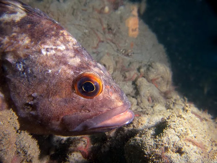 Diving La Jolla Shores: Brown rockfish
