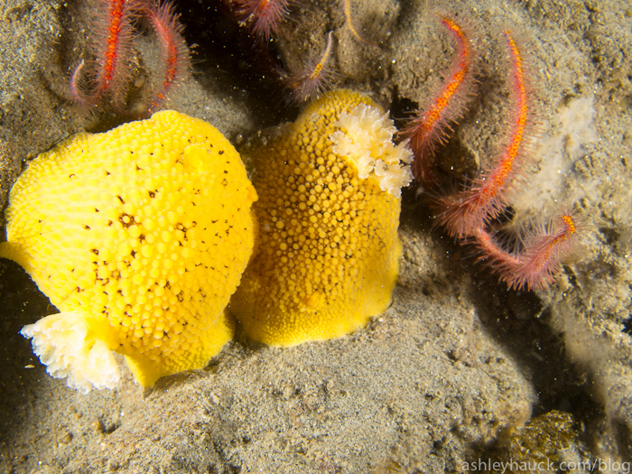 Sea Lemon nudibranchs mating