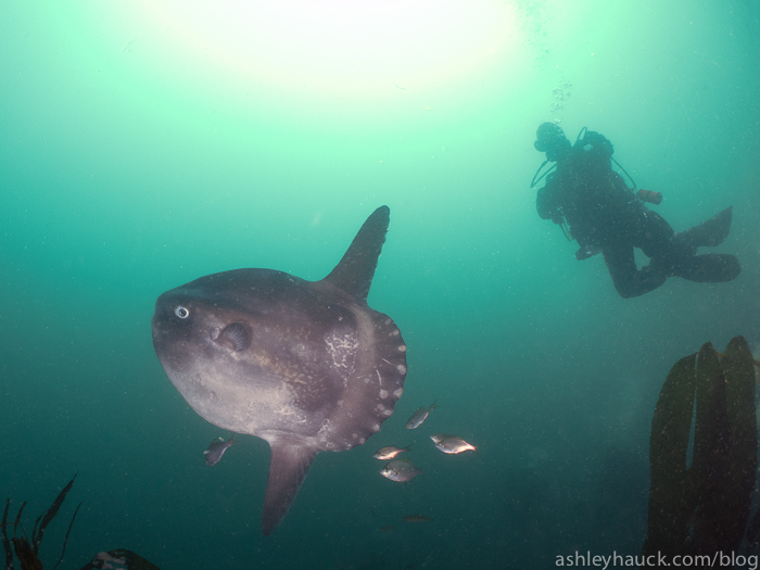 Mola Mola on the Yukon