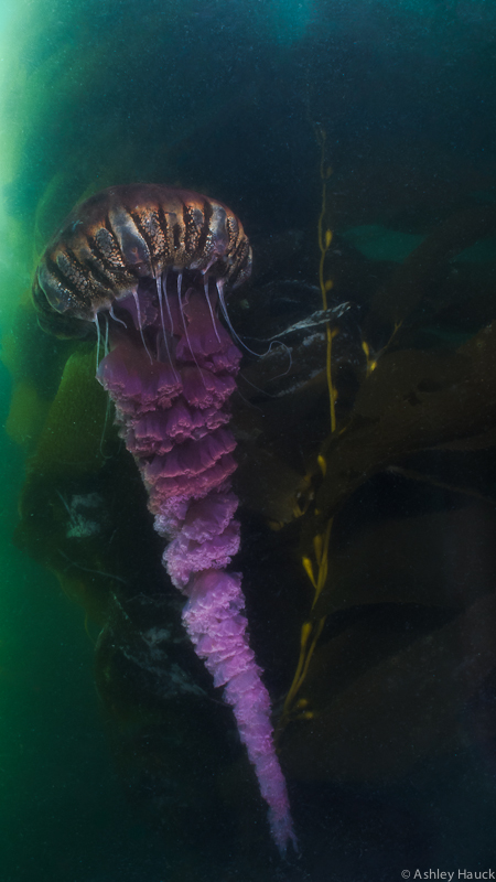 Black Sea Nettle in Point Loma kelp beds, San Diego, California