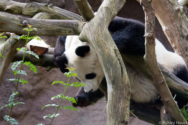 xiao-liwu-baby-panda-4