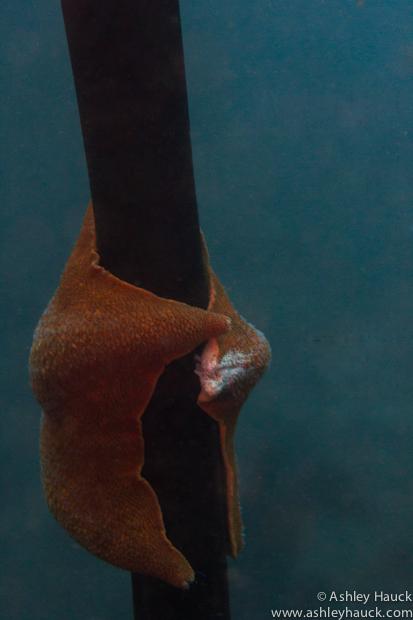 Starfish hugging kelp