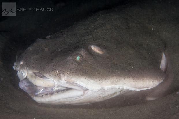 angel-shark-la-jolla-shores-1