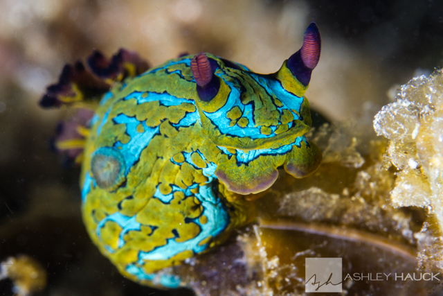 Sea of Cortez nudibranchs Tambja abdere/Tambja fusca