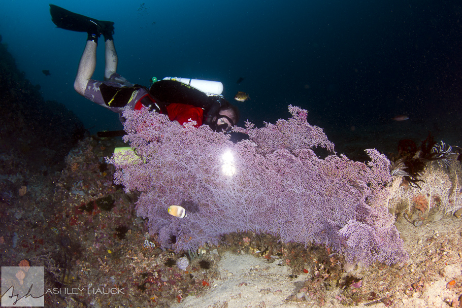 Anilao, Batangas, Philippines: Diver searching for pygmy seahorses on a gorgonian