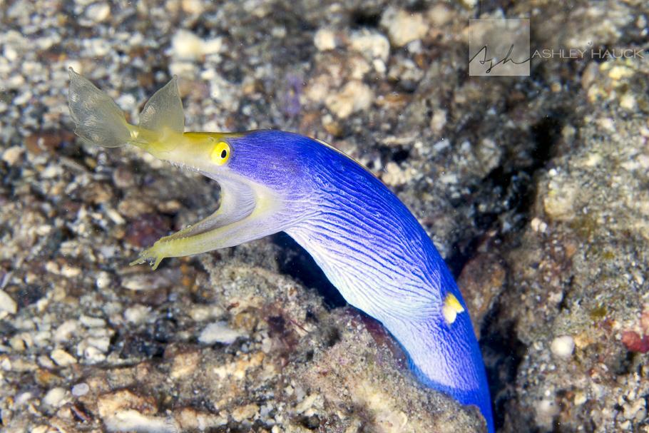 Anilao, Batangas, Philippines: Blue Ribbon Eel