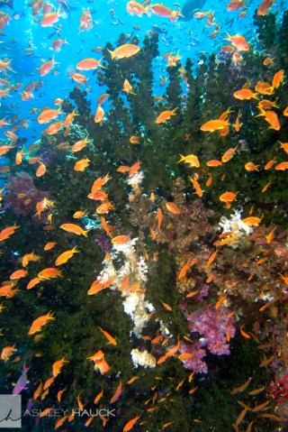 Schooling fish in Fiji