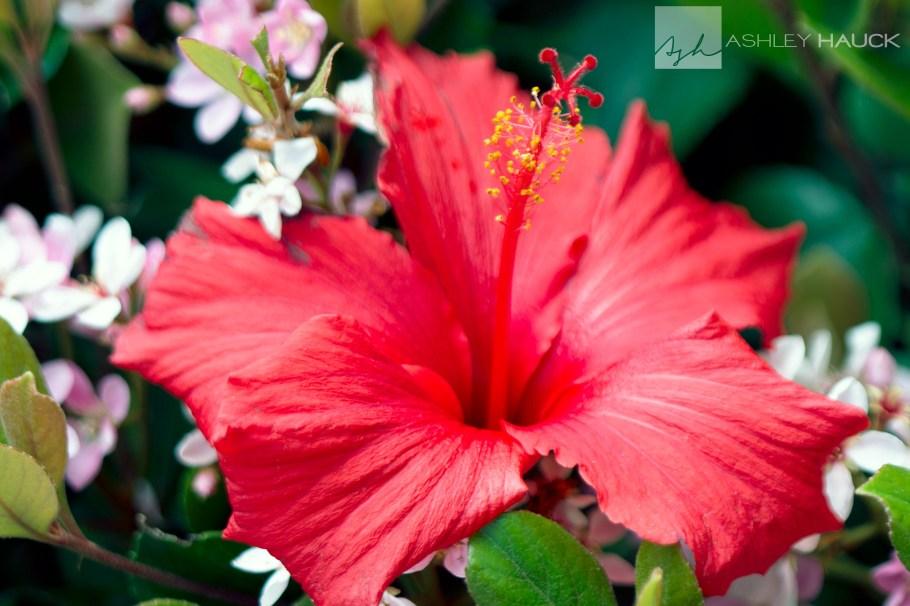 hibiscus-topaz-clean
