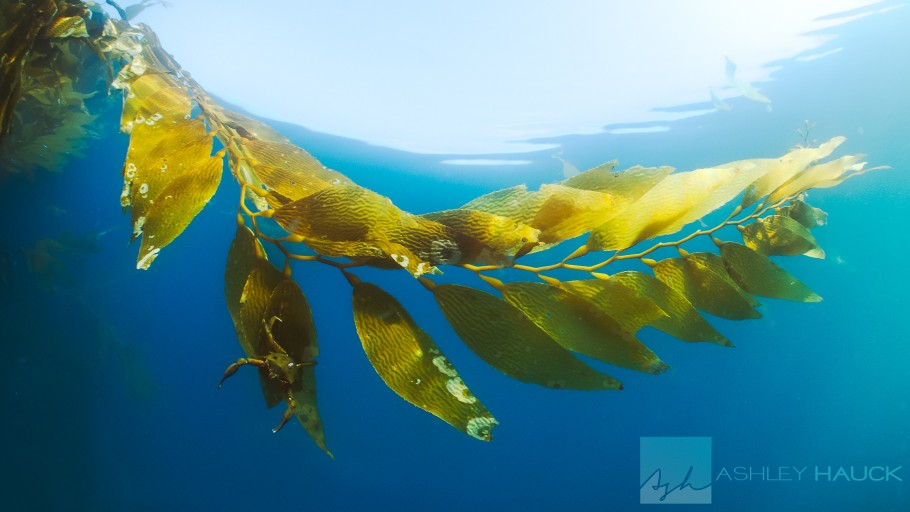 Point Loma, San Diego, California: Kelp crab in the kelp canopy