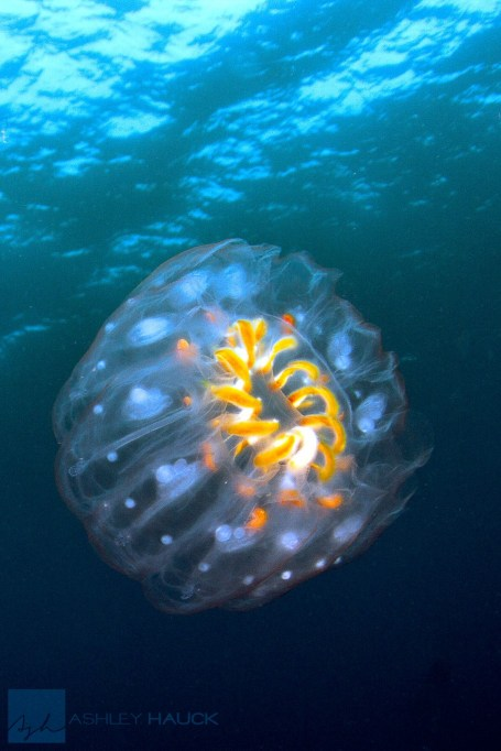 Solitary Cyclosalpa affinis tunicate