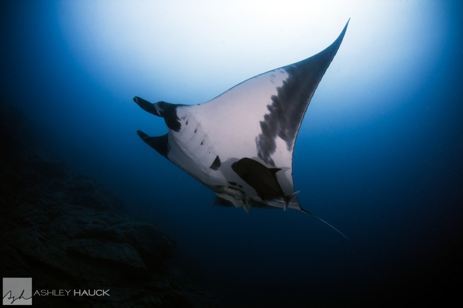 Giant manta ray at Revillagigedos Islands