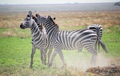 Tanzania-Zebra-Study-Abroad