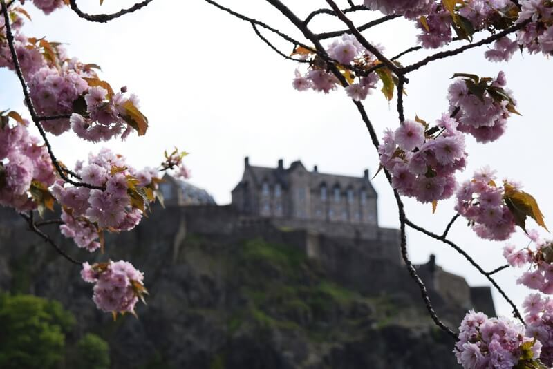 Cherry Blossoms Edinburgh