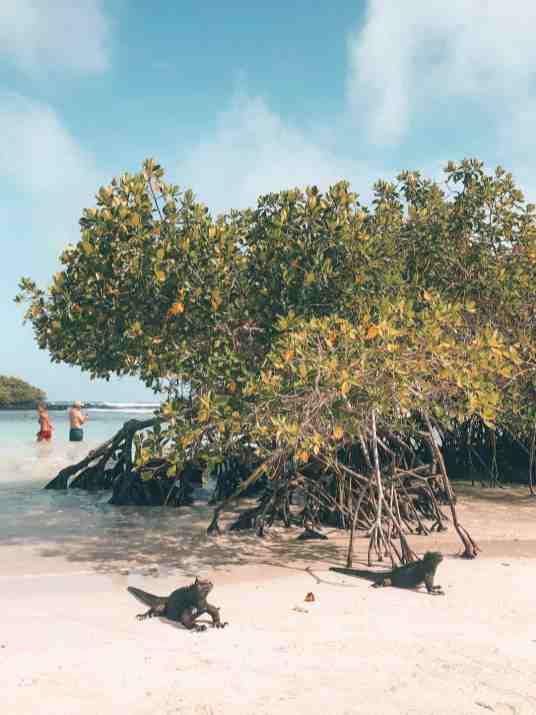 Two marine iguanas at the beach at Tortuga Bay, Galapagos Islands