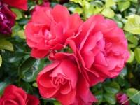 Rosa Flower Carpet Scarlet