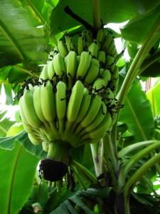 banane thailandia frutta