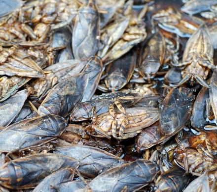 scarafaggi thailandia