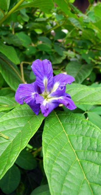 fiore di clitoria ternatea