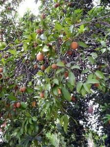 albero di lamut