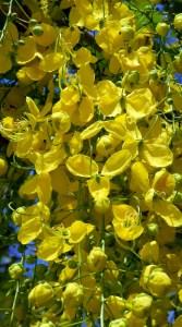 fiori di cassia fistula