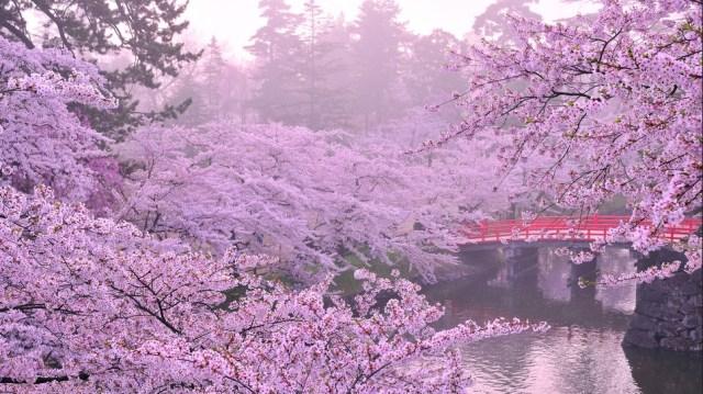 Ciliegi fioriti in Giappone - Copyright Yasushi Tanikado