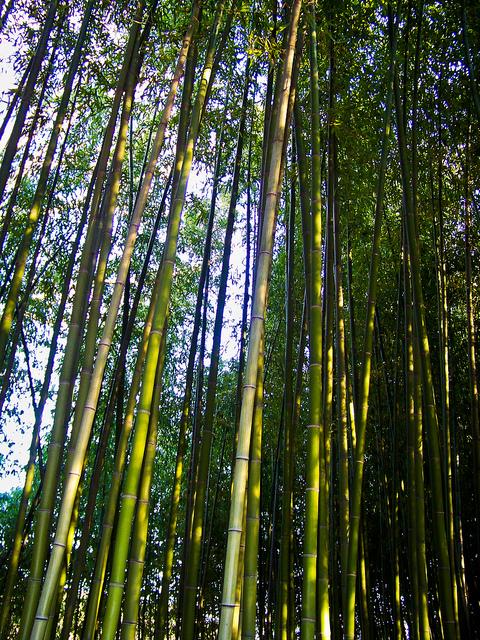 Bamboo-Grove-in-Jinju-진주-1