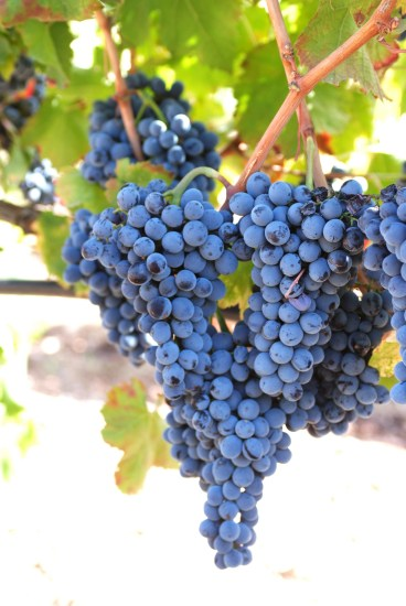 Gurrieri grapes