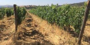collepetruccio_production_of_bio_wine