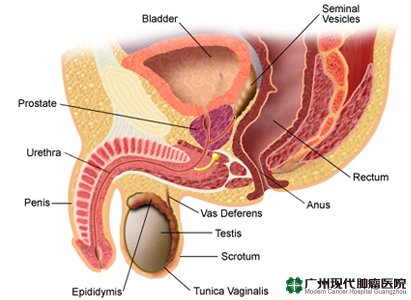 penis morfologi