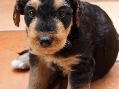 Airedale terrier puppy for sale in india