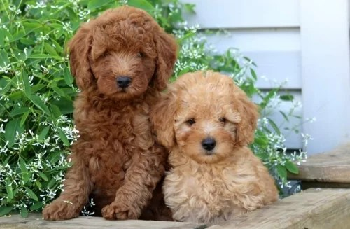 poodle puppy for sale in india