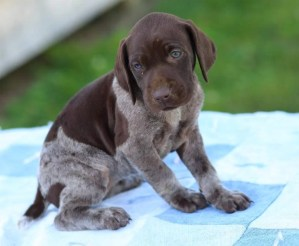 German Shorthaired Griffon Pointer puppies for sale