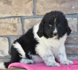 Landseer Newfoundland Puppies for sale