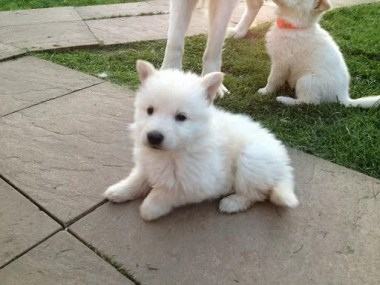 Long coat white german shepherd puppy for sale in india