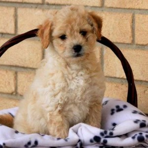 Peekapoo Puppies for sale in india