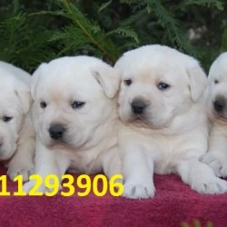 White Labrador Puppies for sale in India